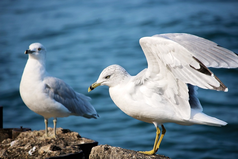 Tern Sea Gull